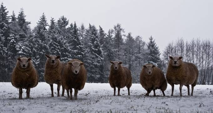 snow-sheep-from-denekamp
